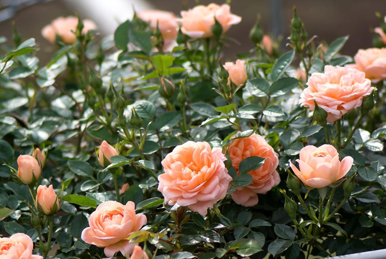 саженцы розы из питомника